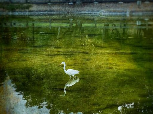 Spotted: Sunday egret at Sharon Park