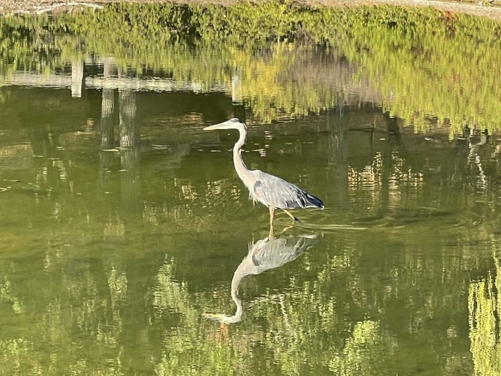 """Did """"big blue"""" kick """"snowy"""" out of the pond at Sharon Park?"""