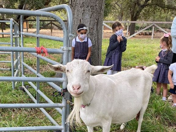 Spotted: Preschoolers milking Connie the goat at Sacred Heart